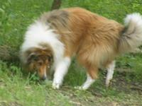 Jock is a DNA tested non carrier, beautiful collie,