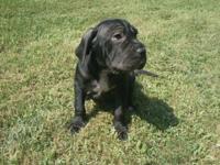 2 Male Neapolitan/Bull Mastiff Puppies for sale.