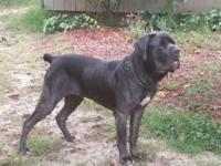 3 year old Neutered male Neapolitan Mastiff. Needs a