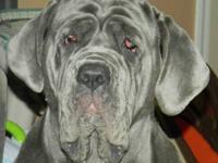 RATE REDUCEDVery nice Girl Neapolitan mastiff 3 years