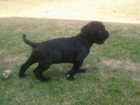 i have a black neapolitan mastiff male puppy for sale.