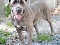 Neapolitan Mastiff - Molly Ct - Extra Large - Young -