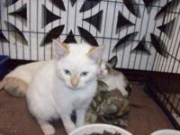Nebelung - Oscar - Medium - Young - Male - Cat Oscar