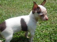 I have 3 AKC Registered Chihuahua young puppies. Born
