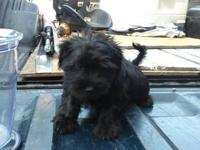 I have 1 schnauzer shih tzu mix puppy. The dad is a