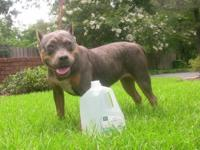NEED STUP ASAP! UKC Purple Tri Pocket American Bully