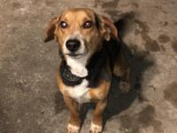 Male Beagle 3.5 years old.  Is not fixed.