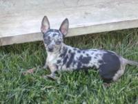 I have a very tiny CKC reg blue merle Chihuahua female