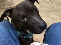 Nena's story Nena is a one year old spayed female pit