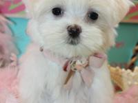 Nesflame teacup maltese puppies.I am only 8 weeks old.