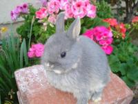 Netherland Dwarf baby Bunnies, very friendly, easy ti