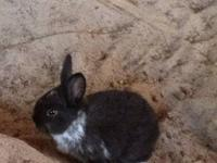 I have two litters of Purebred Netherland Dwarf Bunnies