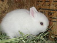 Hi I have one baby dwarf bunny left. She is all white