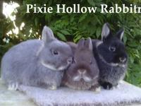 Netherland Dwarf Bunnies for sale in Pa.  Show Quality