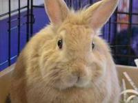 Netherland Dwarf - May - Small - Young - Female -