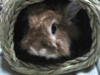 Netherland Dwarf - Olivia - Small - Adult - Female -