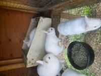 Up for sale are white Netherland Dwarf bunnies with
