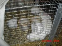 Pedigreed Netherland dwarf trio for sale, Himilayans