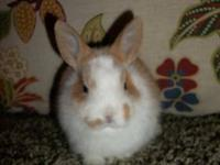Purebred Netherland Dwarf rabbit babies for sale!