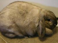 Netherland Dwarf - Bunny #1 - Medium - Young - Female -