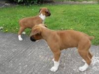 Animal Type: Dogs Breed: Boxer -Neutered