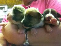 We have new AKC registered pups! Shades are: fawn and