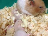 I recently got new litters of hamster. The Syrian