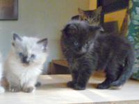 Gorgeous! Playful, extra smart kittens. Similar to