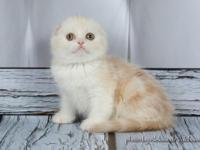 NEW!!!! Elite Scottish fold kitten from Europe with