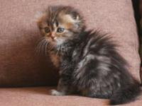 NEW!!!! Elite Scottish highland fold kitten from Europe