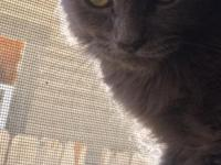 Grayhound is a 3 months old Russian Blue longhair male