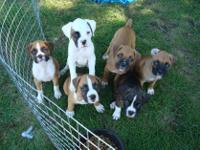 Animal Type: Dogs Breed: Boxer Sweet, very