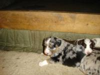 NEW LITTER!!!! I have 3 male aussie pups for sale...