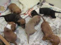 mini dachshunds puppies: females and males available. -