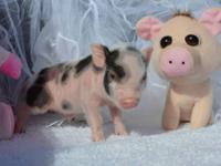 ****Piglets range from $500 - $750 depending on color