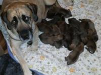 New litter of fawn English mastiff puppies born on