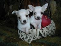 """New Litter"" Registered tiny T-cup Chihuahuas. Born"