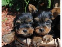 Super sweet, lovely Yorkie puppies are offered and