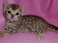 Our TICA registered cattery has new litters of exotic