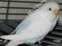 I AM SELLING OUT OF BUDGIES! Putting my focus on my