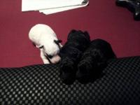 I have three male poodle puppies born on May 17th. They