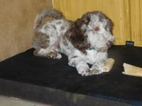 I have for sale a small female Merle Multi-Gen