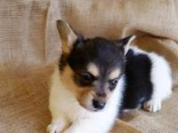 New York Pembroke Welsh Corgi for sale. Puppies are