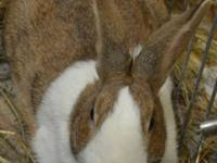 New Zealand - Jazz - Small - Young - Female - Rabbit