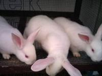 Cute New Zealand Rabbits for Sale. They are around 6