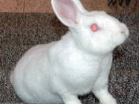 New Zealand - Samoa - Medium - Baby - Male - Rabbit