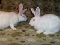 I have pedigreed 2 New Zealand White Jr. Bucks (born
