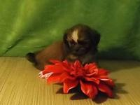 Taking deposits on tiny female Imperial Shih Tzu puppy