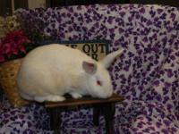 New Zealand - Buster - Medium - Young - Male - Rabbit