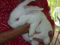 I have some very nice meat rabbits for sale! They are